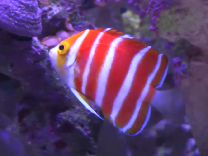 ikan hias peppermint angelfish