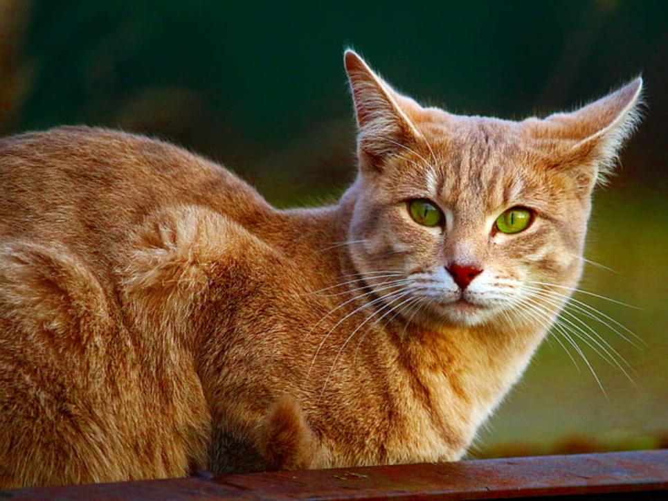 jenis kucing mackerel