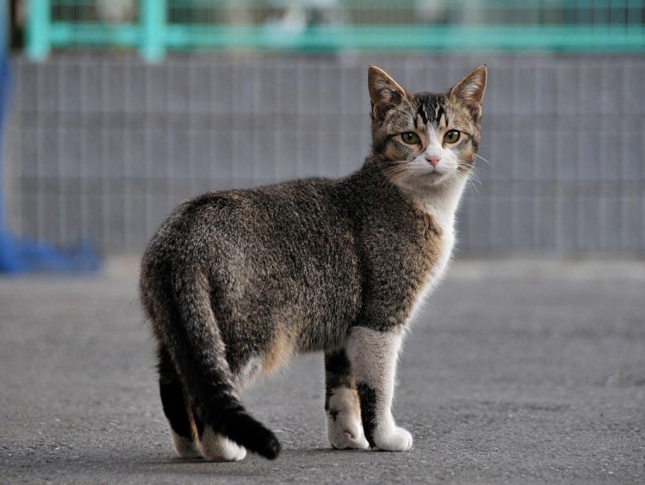 jenis kucing pola ticked tabby