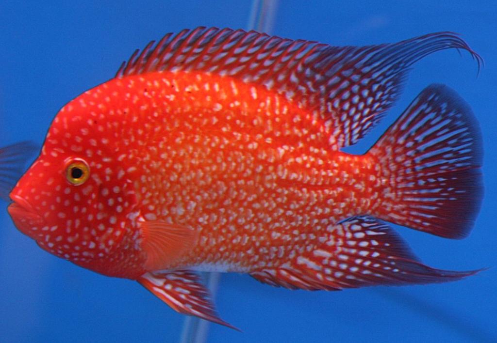 ikan hias red texas cichlid