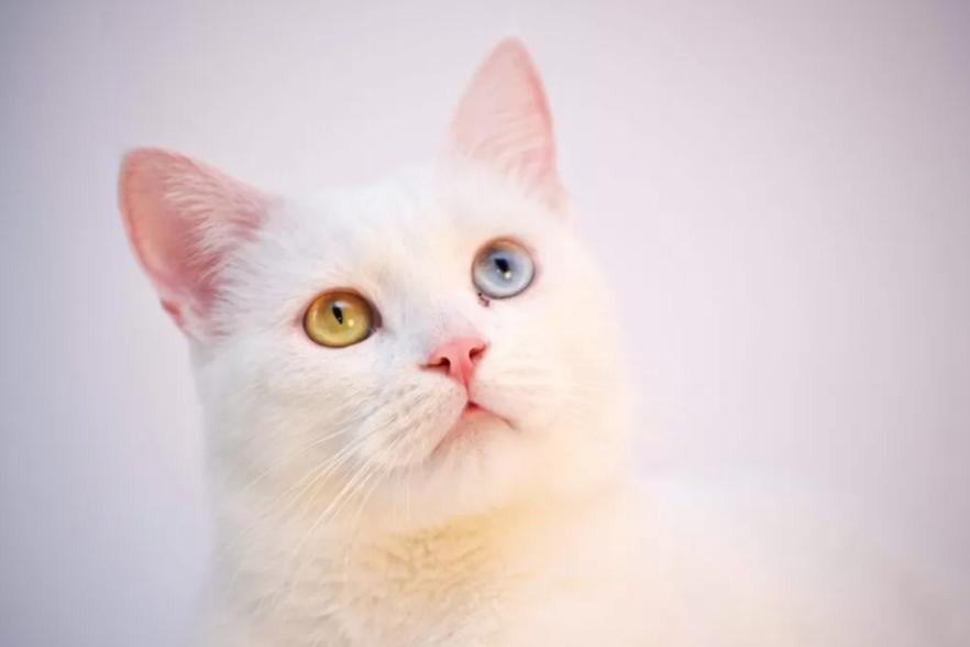 Angora cat's eye