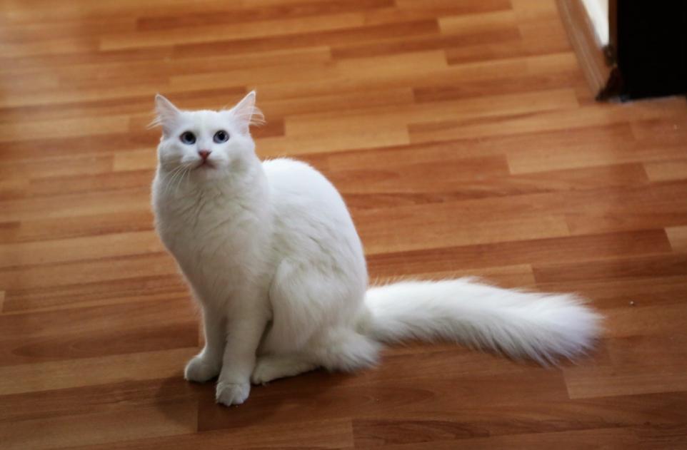 Angora cat body