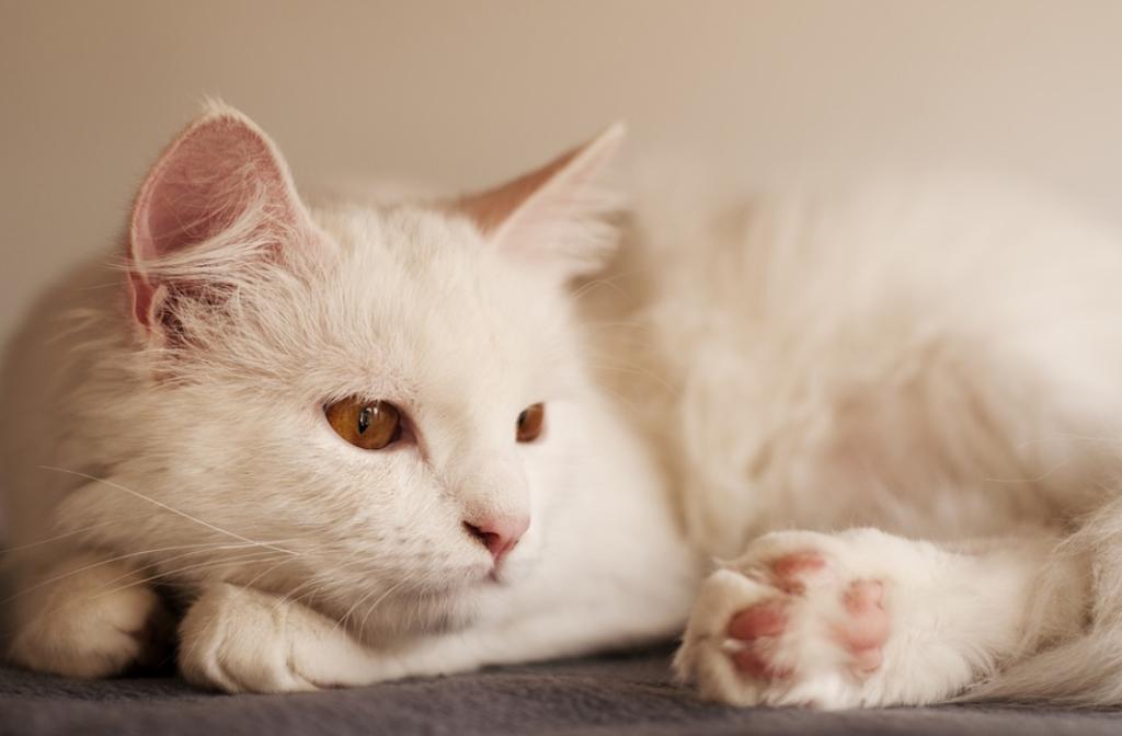 kaki kucing