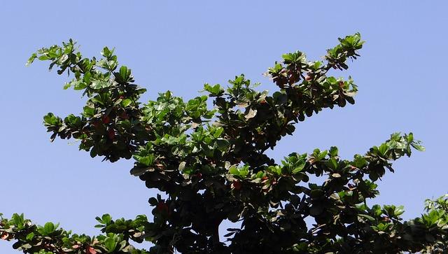 Benefits of the ketapang tree