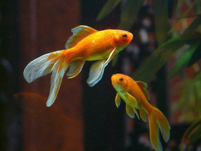 Cara merawat Ikan Koki