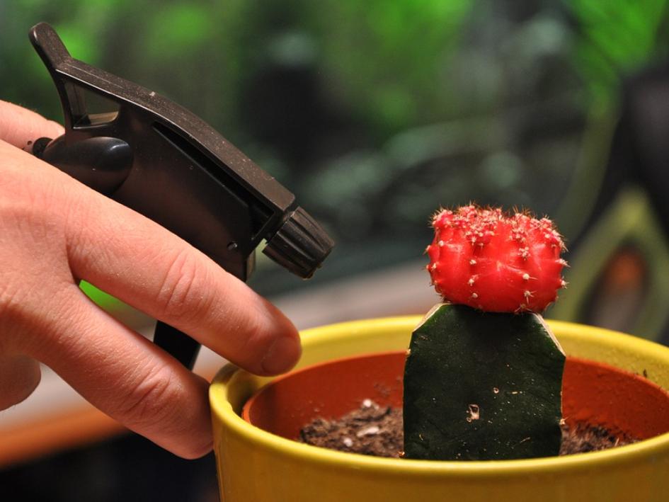 memberikan air pada saat menanam kaktus