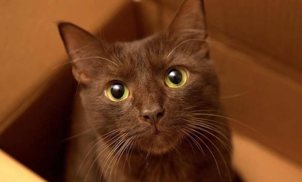 Kucing warna coklat