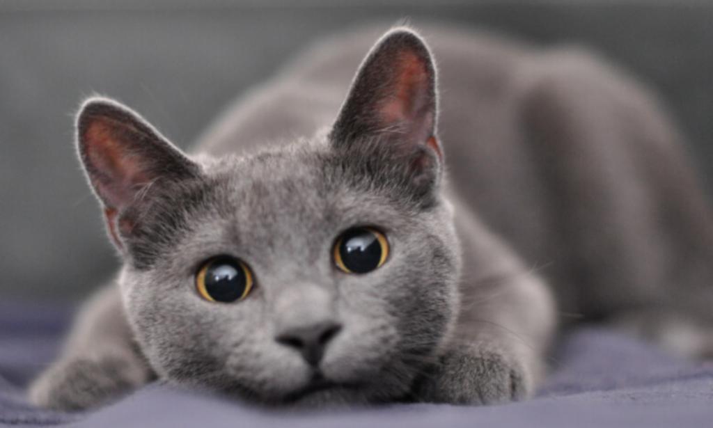 Kucing warna Abu-abu