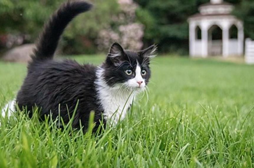 Kucing dua warna