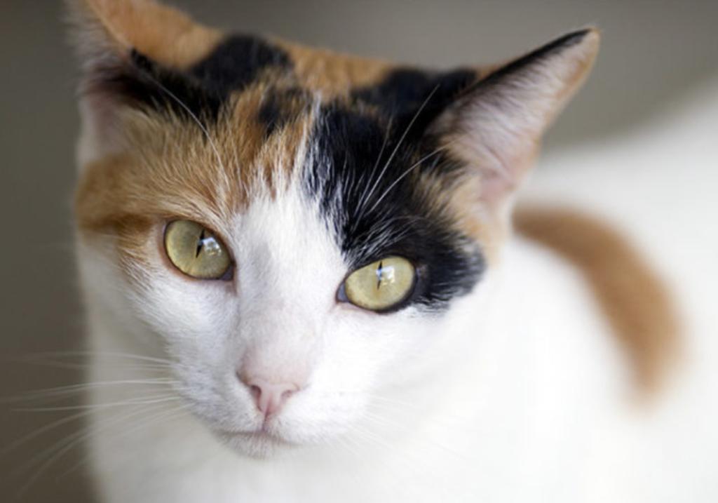Kucing tiga warna ATAU CALICO