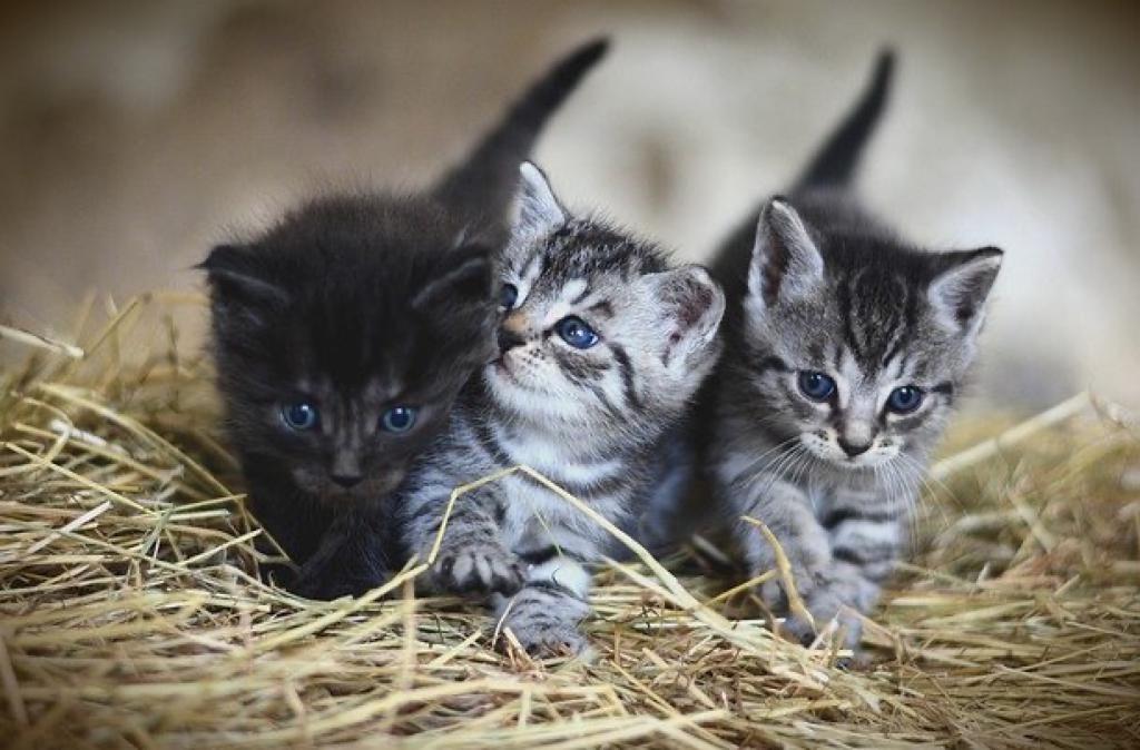 Mengapa anak kucing memiliki warna yang berbeda dari induknya?