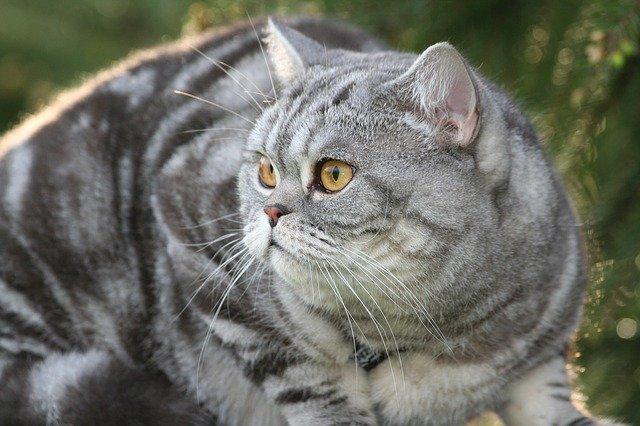 Kucing warna abu