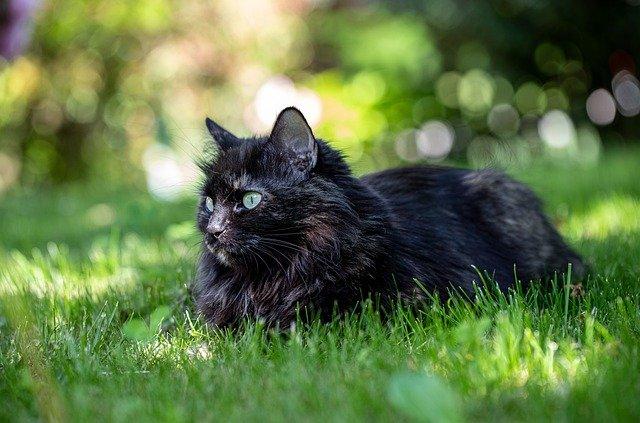 Kucing warna hitam