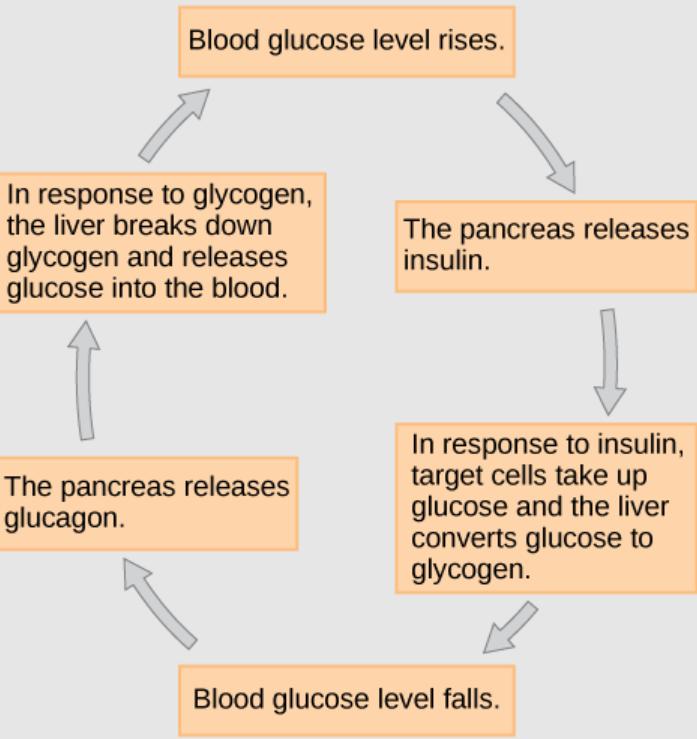 hubungan hormon insluin dengan gula darah