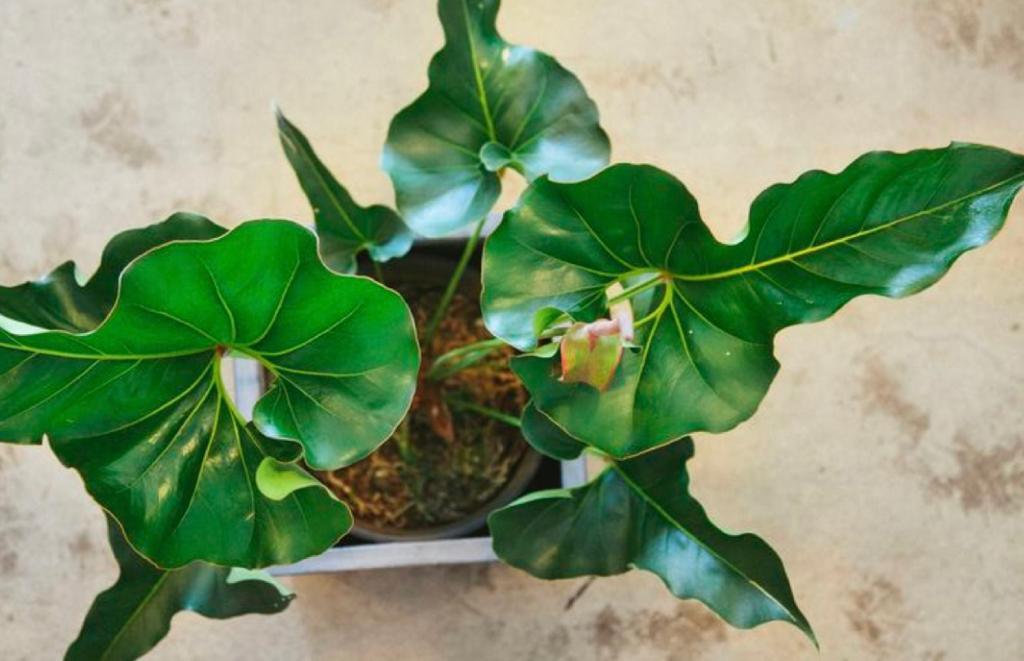 Anthurium corong