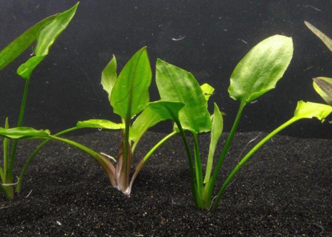 Cryptocoryne Pontederiifolia