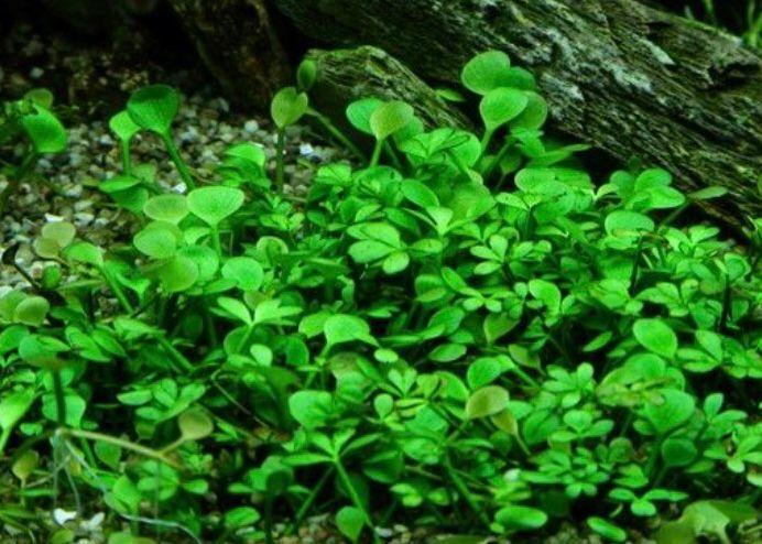 tanaman aquascape Marsilea Hirsuta
