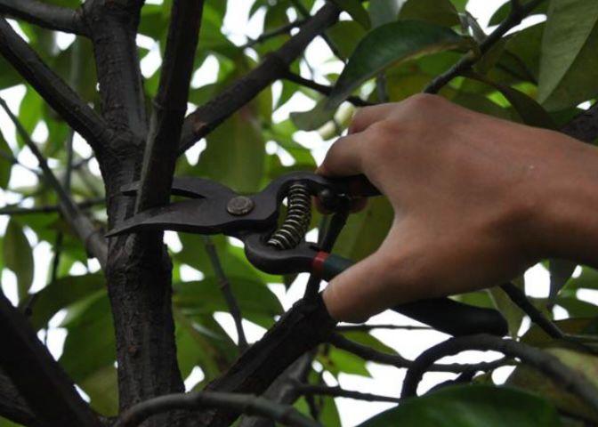 cara merawat pohon mangga dengan memangkasnya
