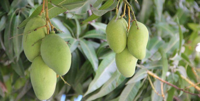 cara merawat pohon mangga