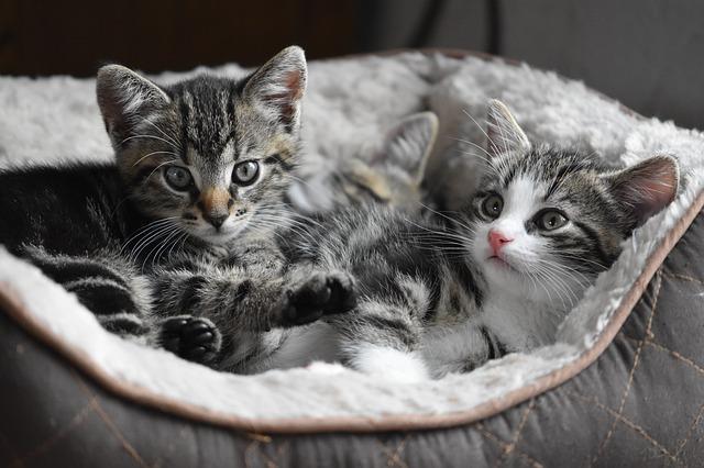 cara merawat anak kucing kampung tanpa induk
