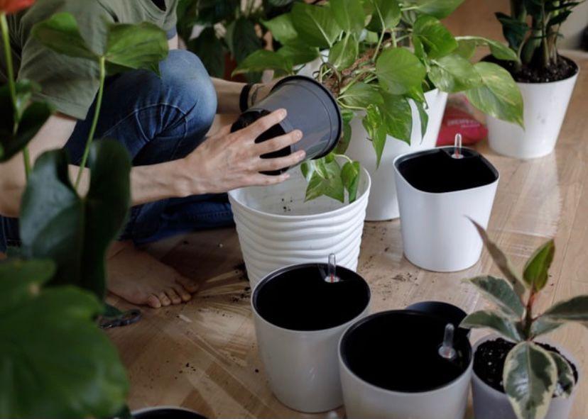 rutin mengganti pot