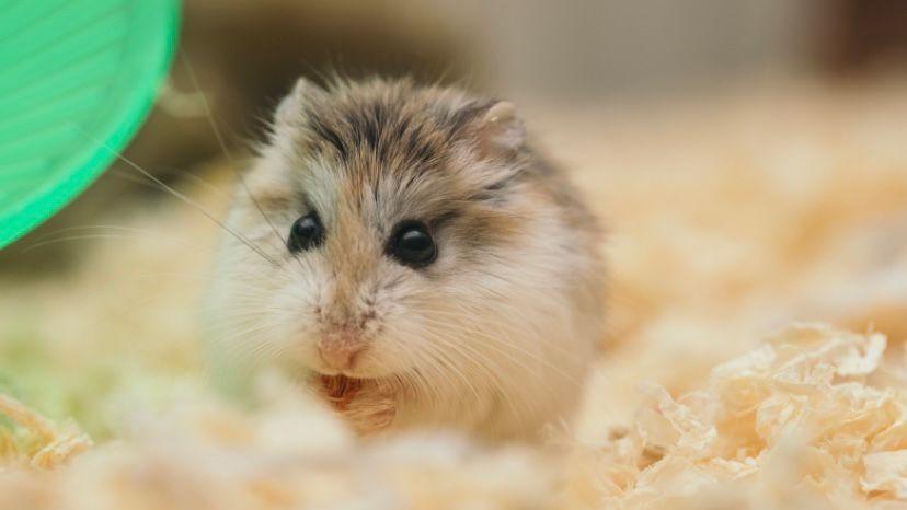 hamster sebagai hewan peliharaan
