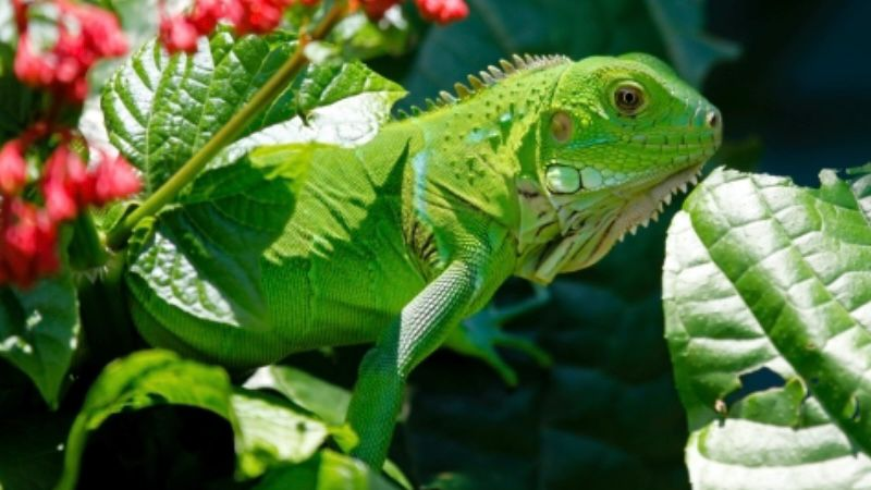 iguana sebagai hewan peliharaan