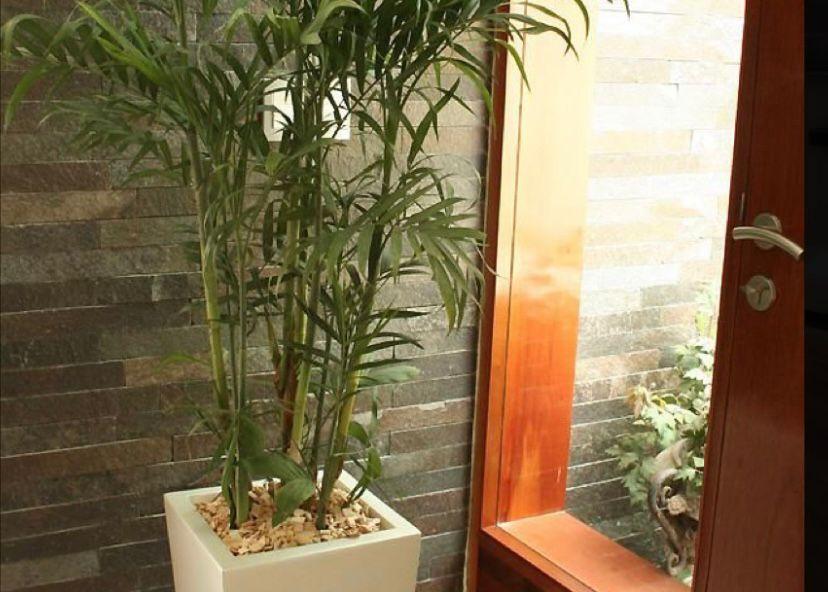 jenis pohon palem bambu