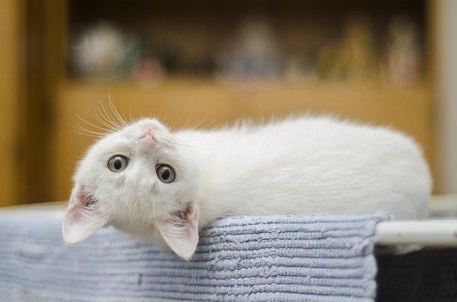 cara merawat anak kucing baru lahir tanpa induk