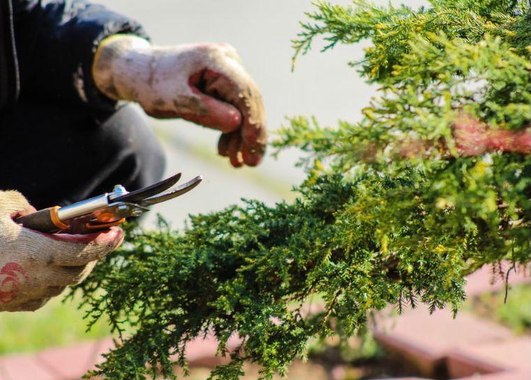 memotong bagian tanaman yang rusak