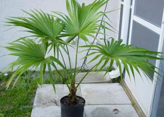 pohon palem kipas
