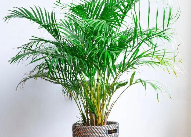 jenis pohon palem kuning