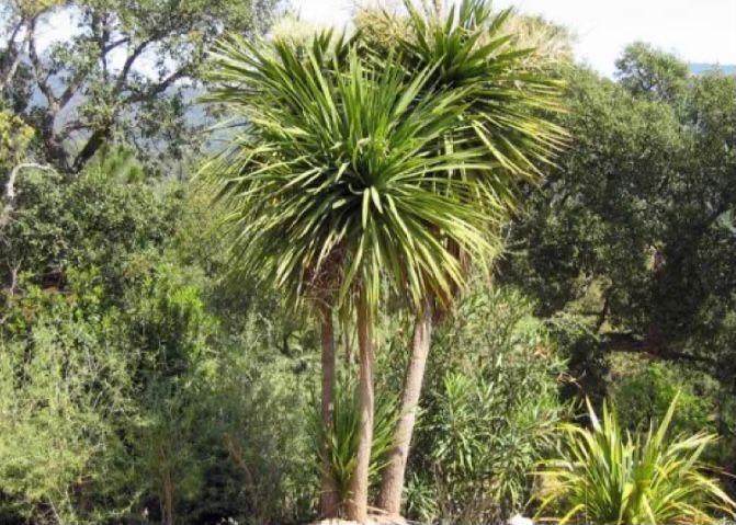 pohon palem pandan bali