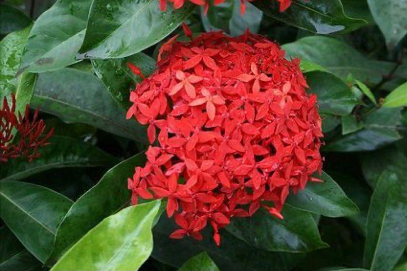 Bunga Soka Jawa