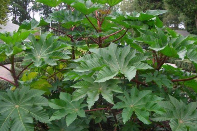 Daun jarak (castor leaves)