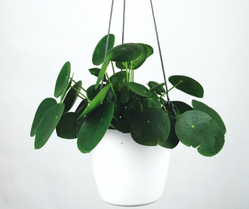 tanaman hias yang sedang populer