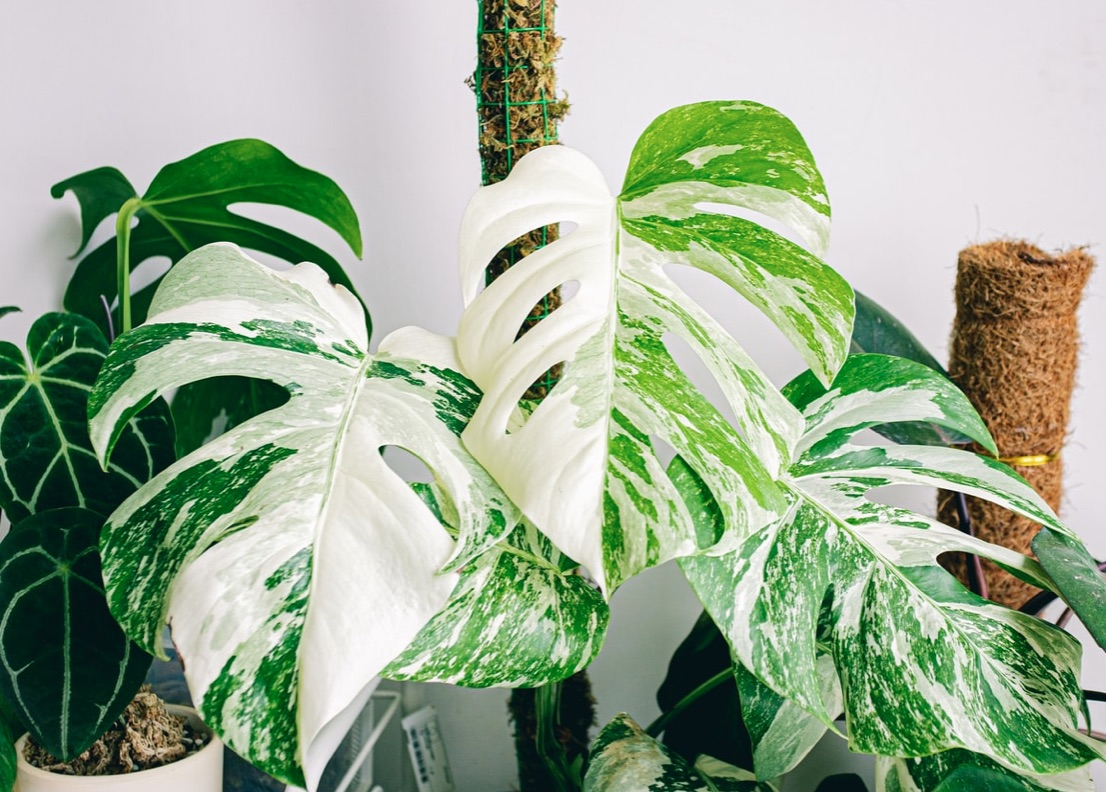 variegated swiss cheese plant