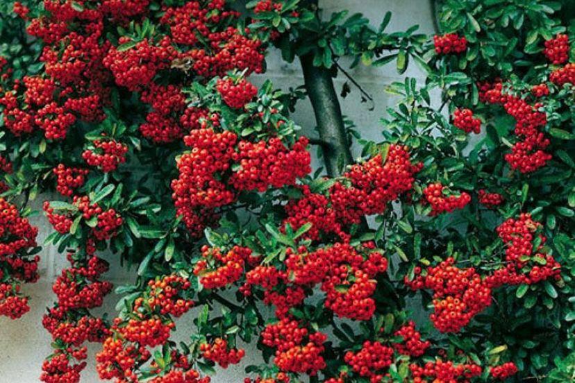 Tanaman Scarlet Firethorn