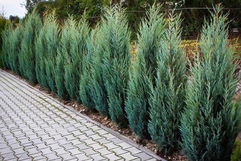 Tanaman pagar juniper