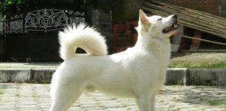 Anjing kintamani asal Bali
