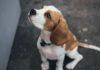 anjing beagle