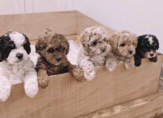 ciri dan karakter anjing poodle
